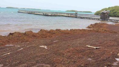 Photo of Arribazones de sargazo amenazan el turismo y la salud en Puerto Rico
