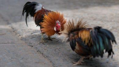Photo of Cámara aprueba medida que protege la permanencia de las peleas de gallos