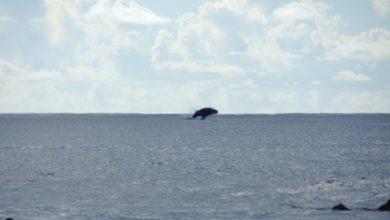Photo of Se reporta aumento de visitas de ballenas en Rincón